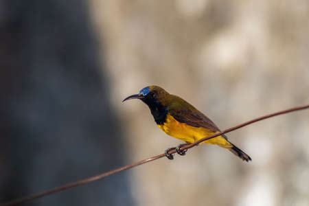 closeup view of a Brown-throated Sunbird (Anthreptes malacensis) perching on clothesline