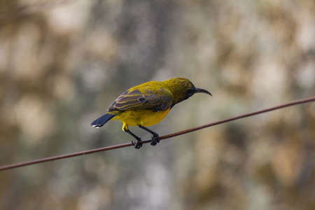 closeup view of a beautiful olive backed sunbird in nature