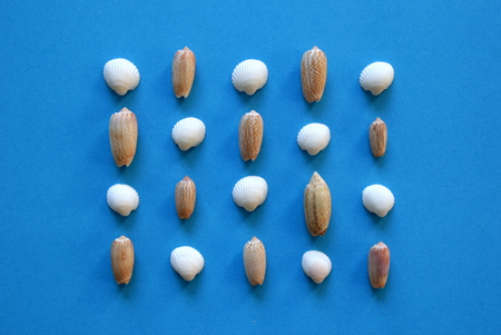 A lot of seashells in the rows on the blue background.