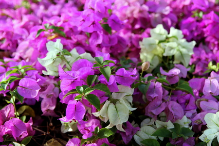 Travel to bangkok thailand the small pink and white flowers stock photo travel to bangkok thailand the small pink and white flowers bougainvillea in a park mightylinksfo