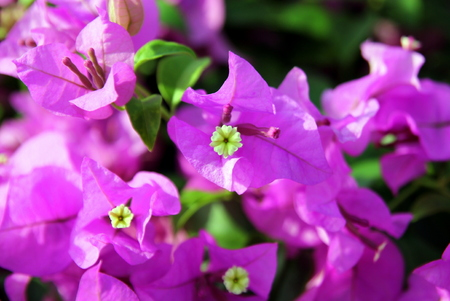 Travel to bangkok thailand the small pink and white flowers the small pink and white flowers bougainvillea in a park mightylinksfo