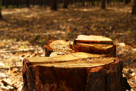 annual ring annual ring: Russia, Siberia. A stump of tree closeup in a forest. Stock Photo
