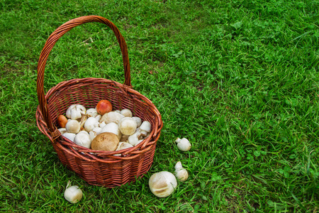 The brown basket with champignons on a background of a green grass. Russia, Siberia.
