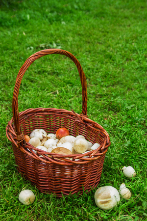 siberia: The brown basket with champignons on a background of a green grass. Russia, Siberia.