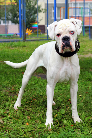 White boxer dog with eyes of different color in a park. Stock Photo
