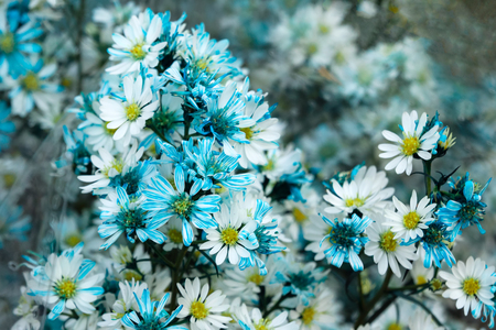 A bouquet from blue and white chamomiles at the flower market. Chiang Mai, Thailand. Stock Photo
