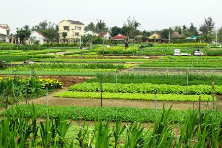 Grüne Gartenbeete mit Gemüse, Früchten und Blumen auf einem Bauernhof mit Häusern auf einem Hintergrund. Hoi An, Vietnam.