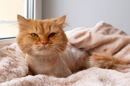 Funny ginger long-haired cat groomed with haircut is lying under a soft pink blanket, front view. Stock Photo