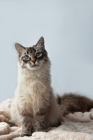 Furry kitten of seal lynx point color with blue eyes is sitting on a pink blanket and gray background. Stock Photo