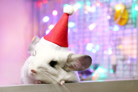 Cute white chinchilla with Santa Claus red hat on a background of Christmas decorations and Christmas lights. Little fluffy Santa. Winter concept and New Year pet gifts.