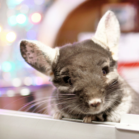 Portrait of cute brown chinchilla on a background of Christmas decorations and Christmas lights. Winter season and New Year pet gifts.