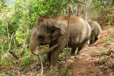 Elephant walking through the rainforest. Chiang Mai province, Thailand.