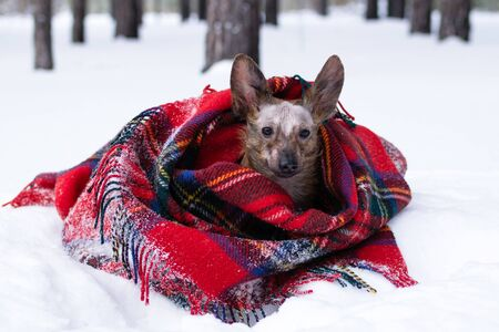 Little dog with big ears wrapped in red checkered plaid on a snow in winter forest.