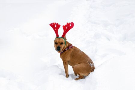 Portrait of American Staffordshire terrier with red deer horns on a snow.