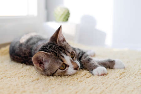 Small white tabby kitten with green eyes is lying on yellow blanket near to window. Stockfoto