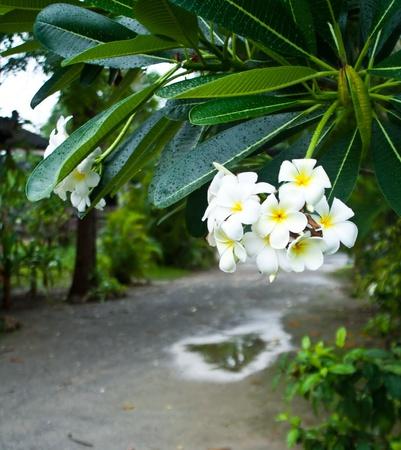 Primer plano de una flor de frangipani blanco amarillo