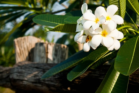 Plumeria alba flowers Stock Photo - 9358060