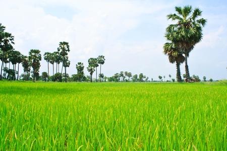 Rice field and sugar palms, Thailand photo