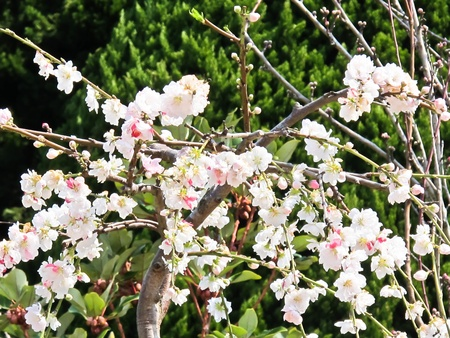 Early blooming Cherry Blossoms in Japan photo