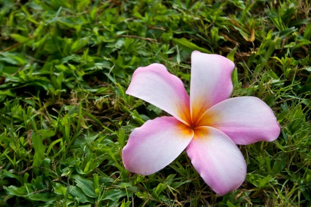 plumeria flowers on the lawn photo
