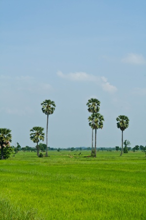 Rice field and sugar palms, Thailand photo