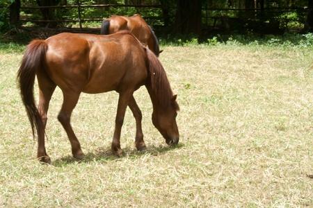 Grazing horses photo