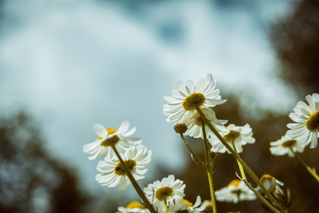 bottom view of chamomile flowers