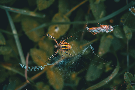 Web spider eating its food that stuck on the net 写真素材