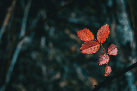 Close-up of red leaves of rosa rubiginosa on the mountain Stok Fotoğraf