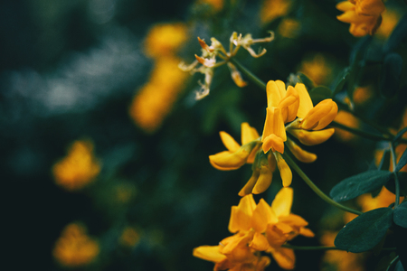 Close-up of yellow flowers of coronilla valentina in nature Stok Fotoğraf