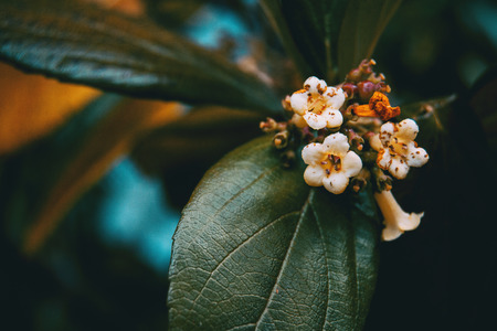 Close-up of small white flowers of viburnum tinus in nature Stok Fotoğraf
