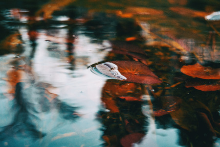 Close-up of a red leaf of an aquatic plant in a lake on top of the water