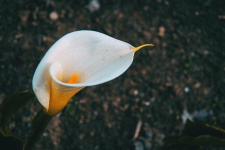 Close-up of a white and elegant zantedeschia flower