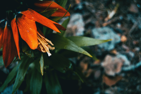 Details of a red flower of fritillaria imperialis in nature