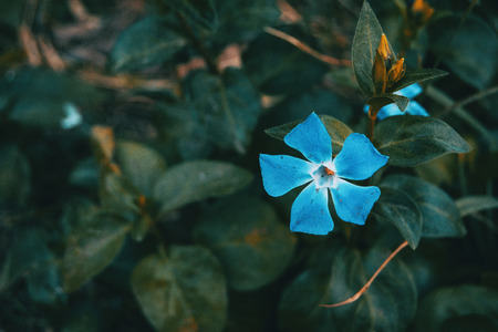 Close-up of an isolated and blue flower of vinca major with leaves background Stok Fotoğraf
