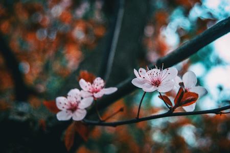 Close-up of small light pink flowers of Prunus cerasifera