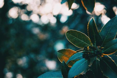 Green leaves of ligustrum lucidum in nature Stok Fotoğraf