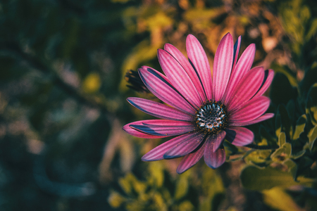 Pink osteospermum ecklonis flower at sunset Stok Fotoğraf