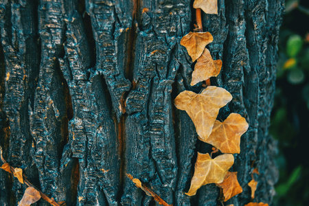 Close-up of some dried leaves of hedera helix on the bark of a tree in the wild Banco de Imagens