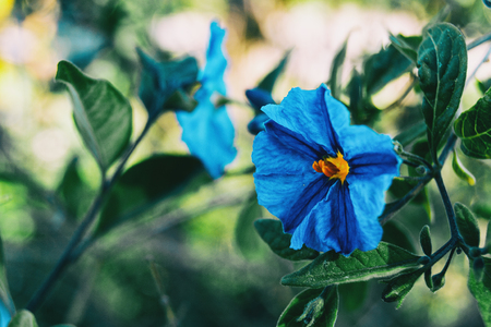 Close-up of a blue flower of solanum laciniatum in the wild