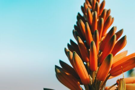 Close-up of a cluster of buds of an aloe arborescens plant illuminated by sunlight