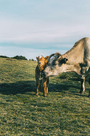 Portrait of a cow protecting her little calf and looking at the camera in a meadow