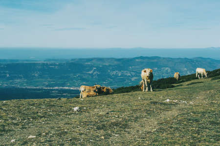 Views of a mountainous landscape with a herd of cows in the foreground