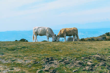 Two cows putting their heads together lovingly in a meadow