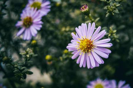 lilac pollen-filled aster flower seen from close up Standard-Bild