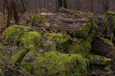 Old rotten logs covered with moss and strewn with dry leaves and red berries of hawthorn