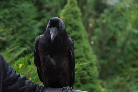 Big black tame raven sitting on a background of green conifers