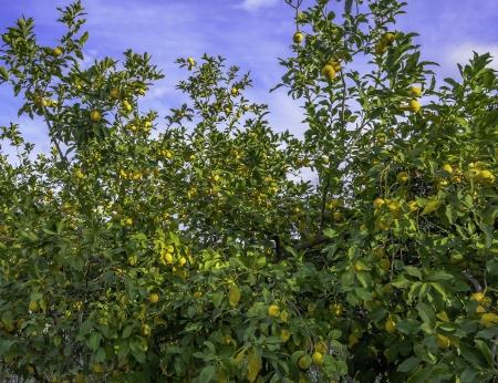 lemon tree: Limones creciente de lim�n en �rbol