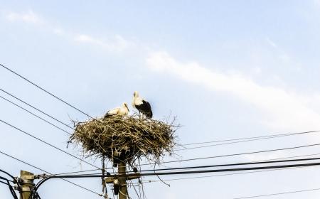 Storks sitting on a nest made on an electricity pole  photo