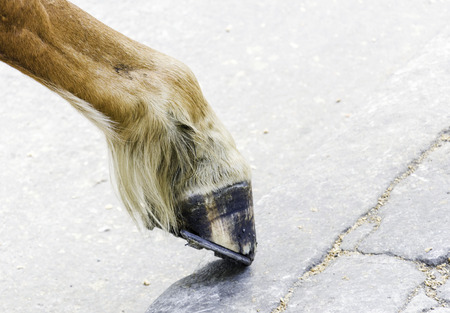 horse foot hoof photo